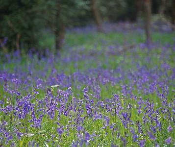 Twyford Woods bluebells