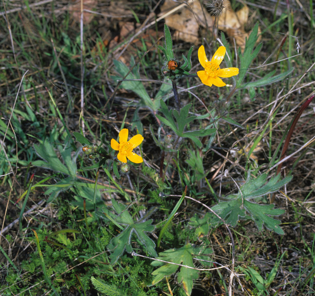 Southern Oregon Buttercup (Ranunculus austro-oreganus) is endemic to Jackson County in southern Oregon.