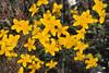 Spring Gold (Crocidium multicaule).