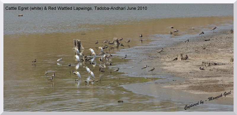 Cattle Egret (white) and Red Wattled Lapwings, Tadoba Andhari Tiger Reserve