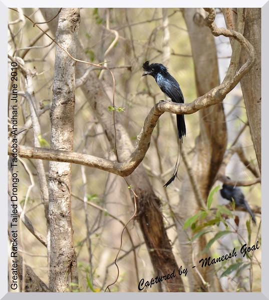 Greater Racket Tailed Drongo, Tadoba Andhari Tiger Reserve