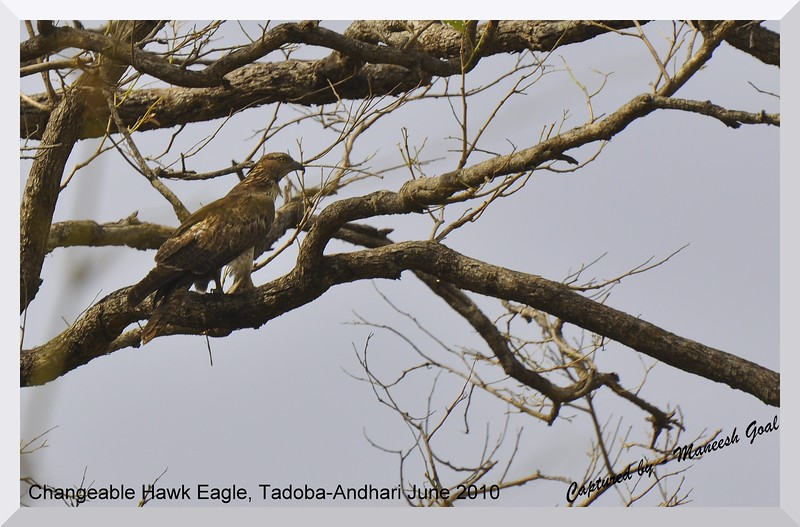 Changeable Hawk Eagle, Tadoba Andhari Tiger Reserve