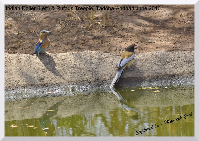 Indian Roller (left) and Rufous Treepie, Tadoba Andhari Tiger Reserve