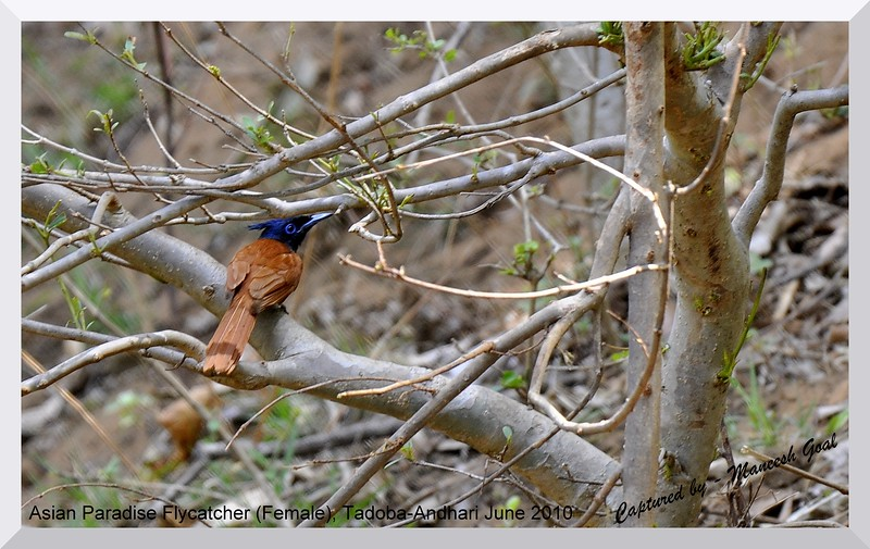 Asian Paradise Fly-catcher (female), Tadoba Andhari Tiger Reserve