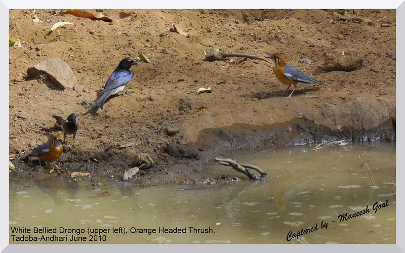 White Bellied Drongo (upper left) and Orange Headed Thrush, Tadoba Andhari Tiger Reserve