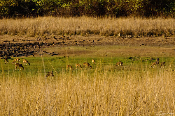 Grasslands at Telia | Tadoba, April 2012