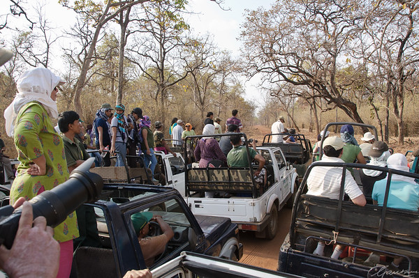 Traffic jams, tiger spotting, Tadoba Tadoba, April 2012