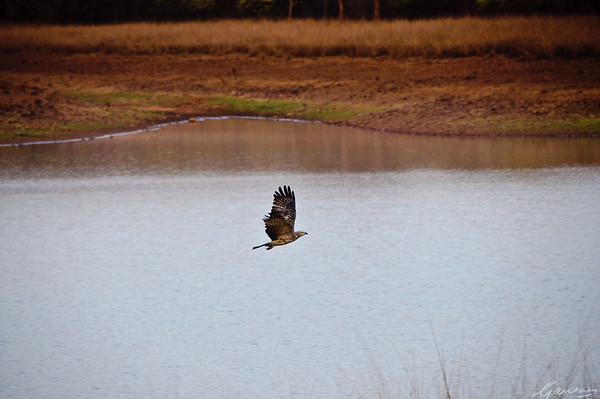 Eagle winging over Telia Lake Tadoba, April 2012