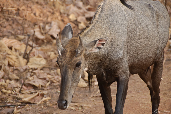 Inquisitive Nilgai Tadoba, April 2012