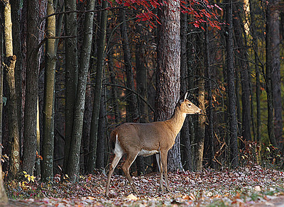 Hocking Hills State Park OH  a deer taking a morning walk.