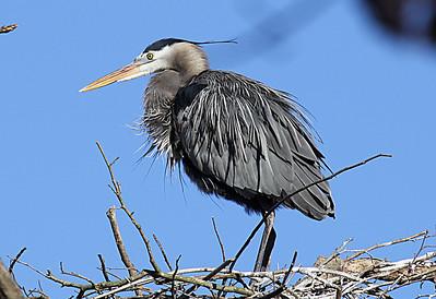 Heron on nest.