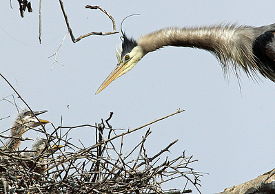 Mother flying in to the nest, to greet the babies.