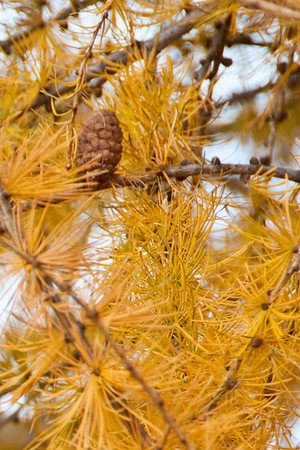 Tamarack in Autumn