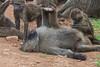 Olive Baboons grooming, Ngorongoro Crater, Tanzania, Africa