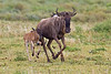 Wildebeest with calf less than an hour old, Ngorongoro Crater, Tanzania, Africa