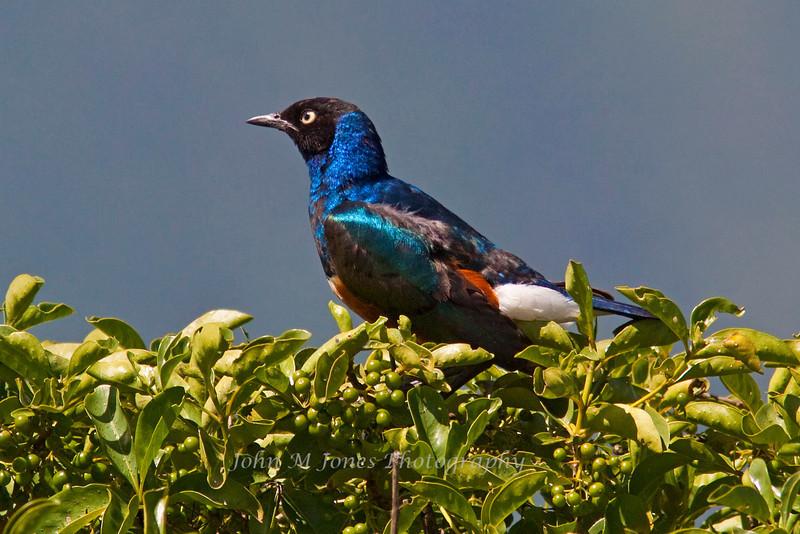 Superb Starling, Ngorongoro Crater, Tanzania, Africa