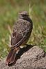 Rufous-tailed Weaver, Ngorongoro Crater, Tanzania, Africa