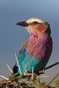 Lilac-breasted Roller, Ngorongoro Crater, Tanzania, Africa
