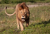Lion, Ngorongoro Crater, Tanzania, Africa