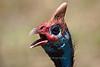 Helmeted Guineafowl, Ngorongoro Crater, Tanzania, Africa