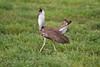 Kori Bustard, Serengeti, Tanzania, Africa