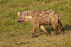 Spotted Hyena, Serengeti, Tanzania, Africa