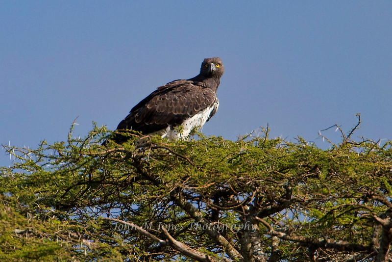 Martial Eagle, Serengeti, Tanzania, Africa