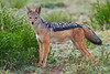 Black-backed Jackal, Serengeti, Tanzania, Africa