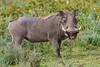African Warthog, Serengeti, Tanzania, Africa