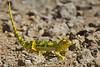 Flap-necked Chameleon, Serengeti, Tanzania, Africa