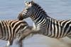 Stampeding Zebra, Lake Ndutu, Serengeti, Tanzania, Africa