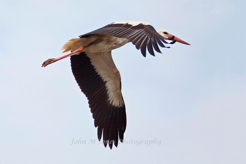 White Stork in flight, Serengeti, Tanzania, Africa