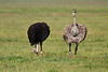 Ostrich pair, Serengeti, Tanzania, Africa