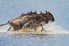 Stampeding Wildebeest, Lake Ndutu, Serengeti, Tanzania, Africa