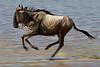 Running Wildebeest, Lake Ndutu, Serengeti, Tanzania, Africa