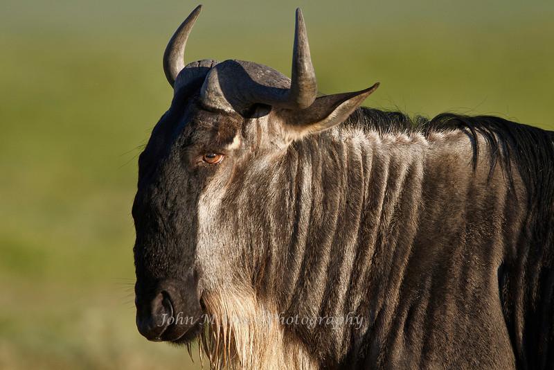 Wildebeest, Serengeti, Tanzania, Africa