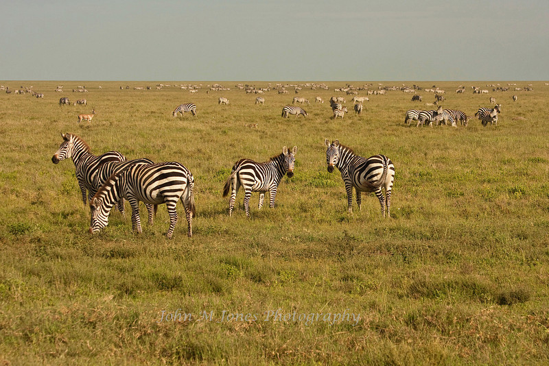 Zebra and other animals on short grass plains, Serengeti, Tanzania, Africa
