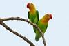 Fischer's Lovebirds, Serengeti, Tanzania, Africa