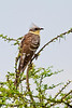 Great Spotted Cuckoo, Serengeti, Tanzania, Africa