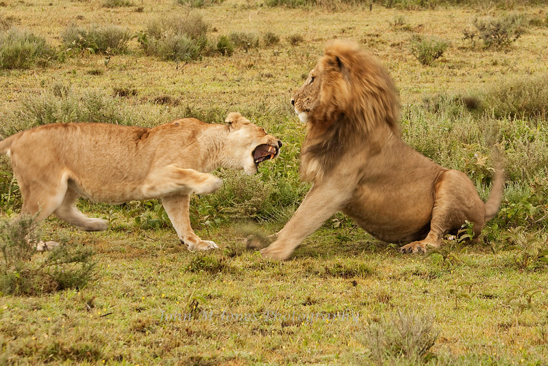 Lions having a lover's spat, Serengeti, Tanzania, Africa