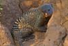 Banded Mongoose in termite mound, Serengeti, Tanzania, Africa