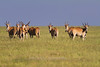 Eland, Serengeti, Tanzania, Africa