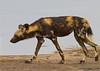 Hunting Dog, Serengeti, Tanzania, Africa