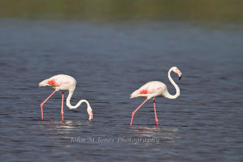 Greater Flamingos, Lake Ndutu, Serengeti, Tanzania, Africa