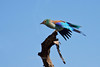 Eurasian Roller, Serengeti, Tanzania, Africa