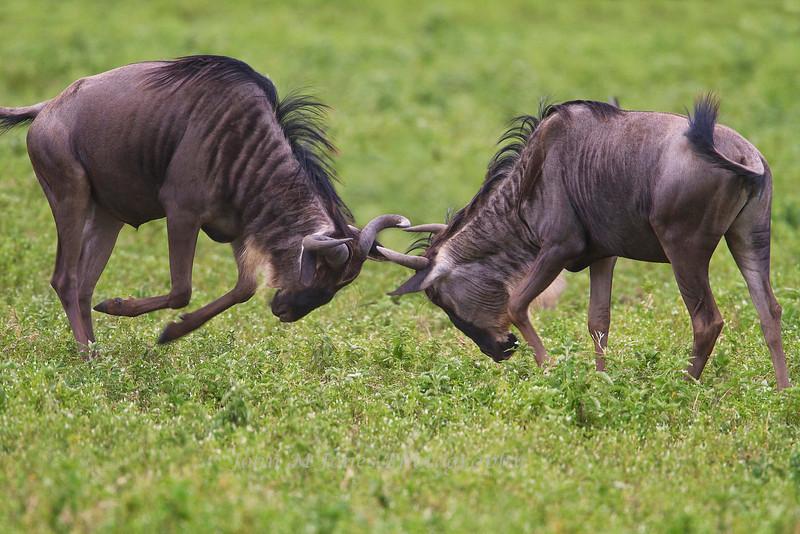 Sparring Wildebeest, Serengeti, Tanzania, Africa