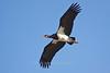 Abdim's Stork in flight, Serengeti, Tanzania, Africa