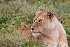 Lioness, Serengeti, Tanzania, Africa