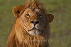 Lion, Serengeti, Tanzania, Africa