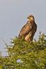 Steppe Eagle, Serengeti, Tanzania, Africa